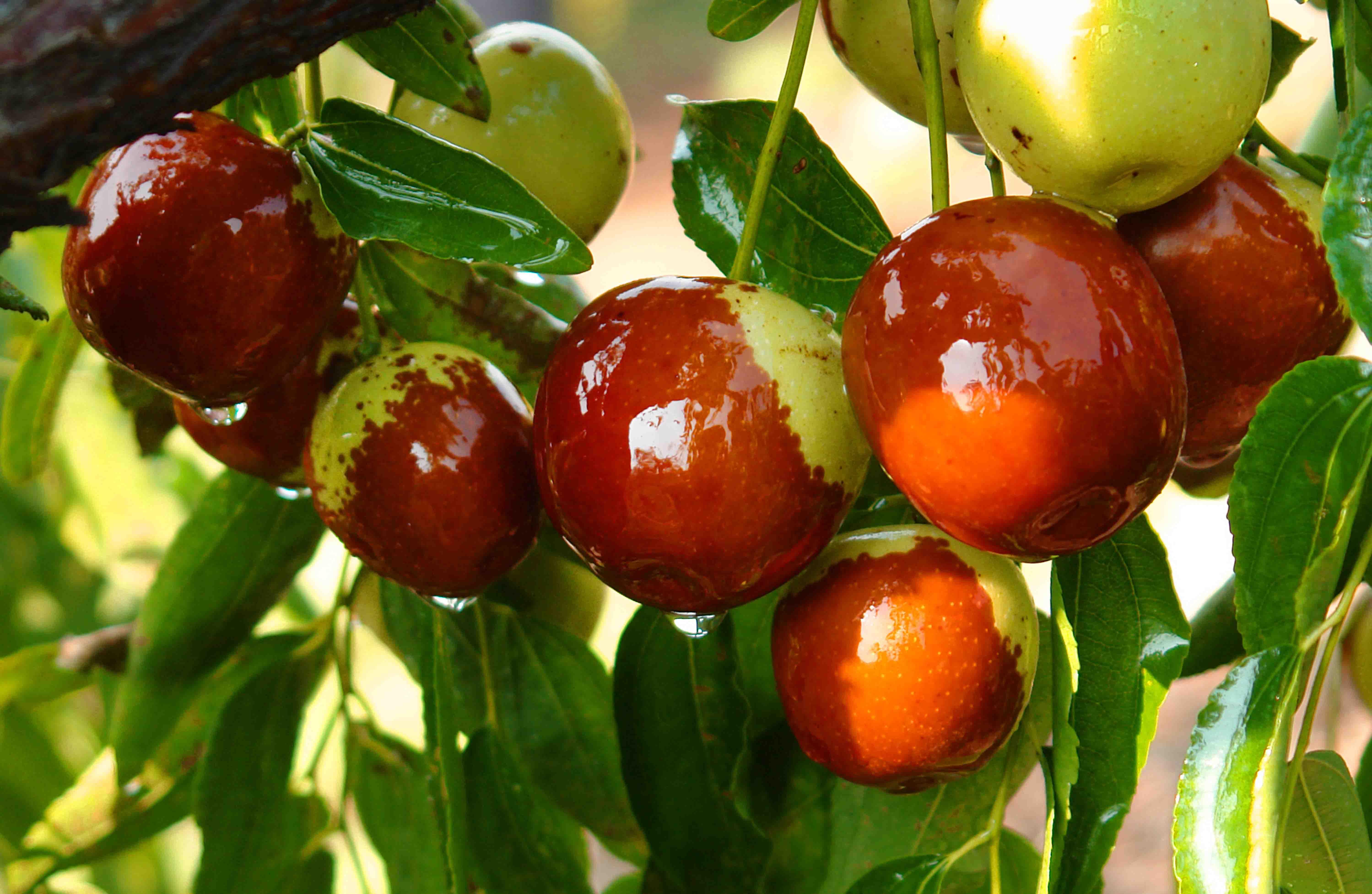 枣树盆景图片欣赏 枣树盆景图片欣赏 枣树幼苗图片欣赏