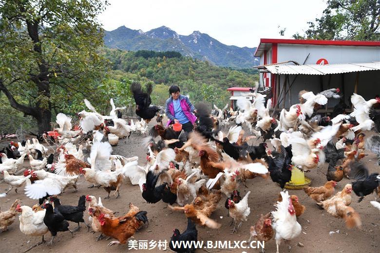 鸡司令缩略图