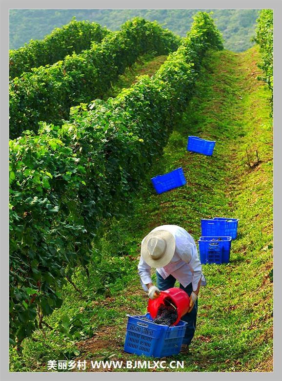 葡萄熟了的季节缩略图